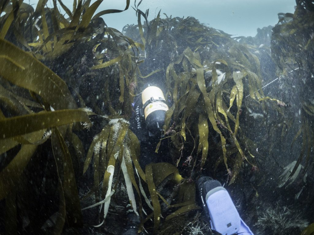 Diver searching through the kelp on the seabed
